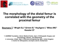 The Morphology Of The Distal Femur Is Correlated With The Geometry Of The Proximal Femur
